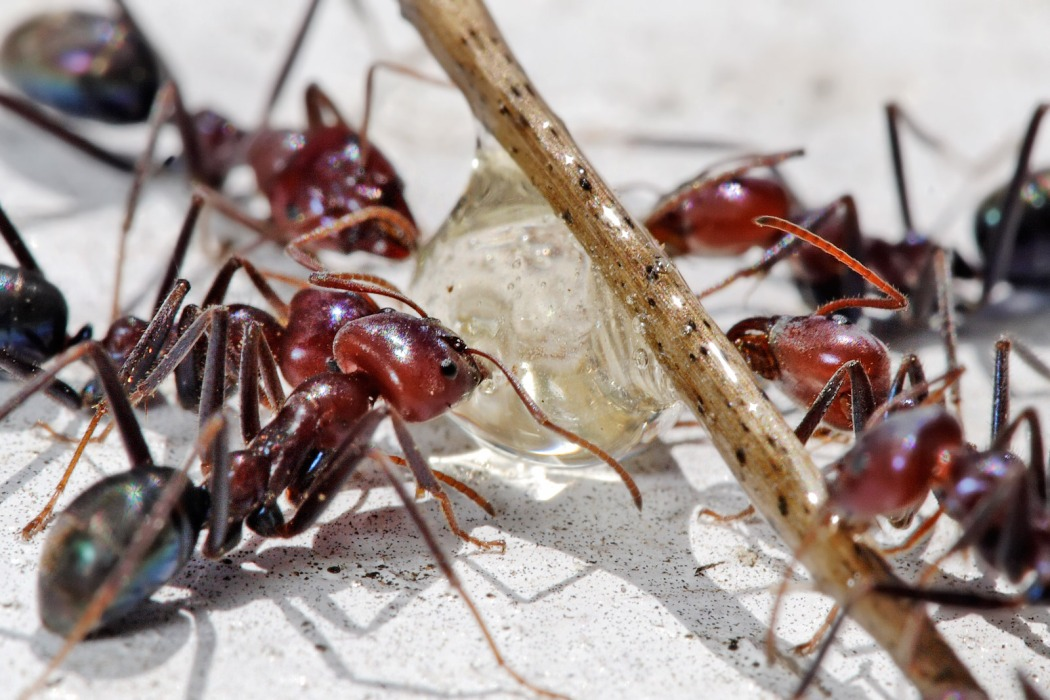 Meat_eater_ants_feeding_on_honey02