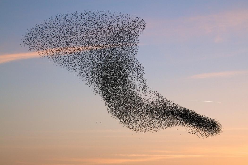 birds-flock-swarm-the-vortex