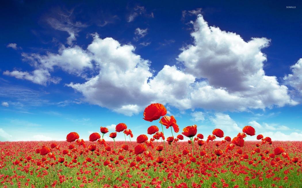 poppy-field-20134-1920x1200